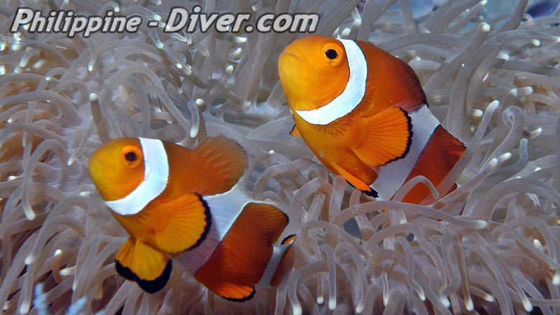 Diving in Bohol clownfish-philippines