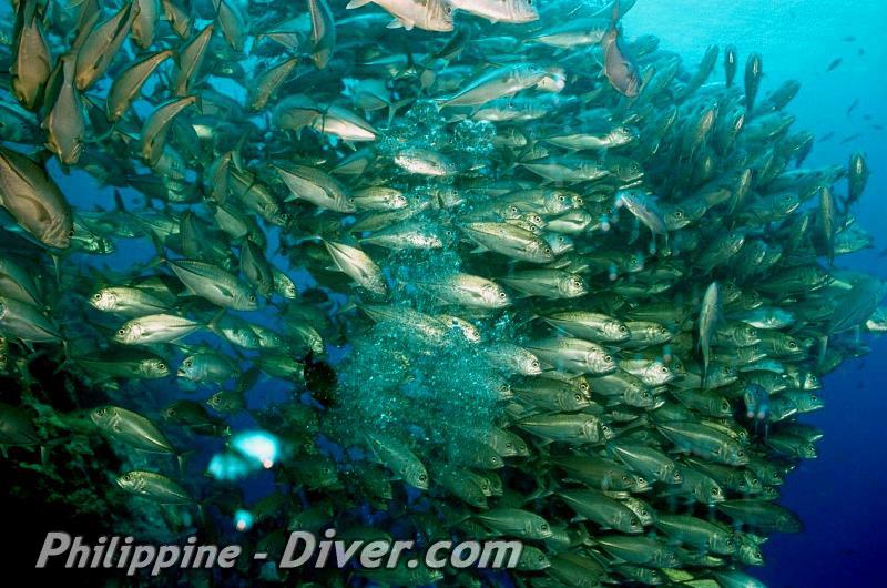 balicasag-island-jackfish