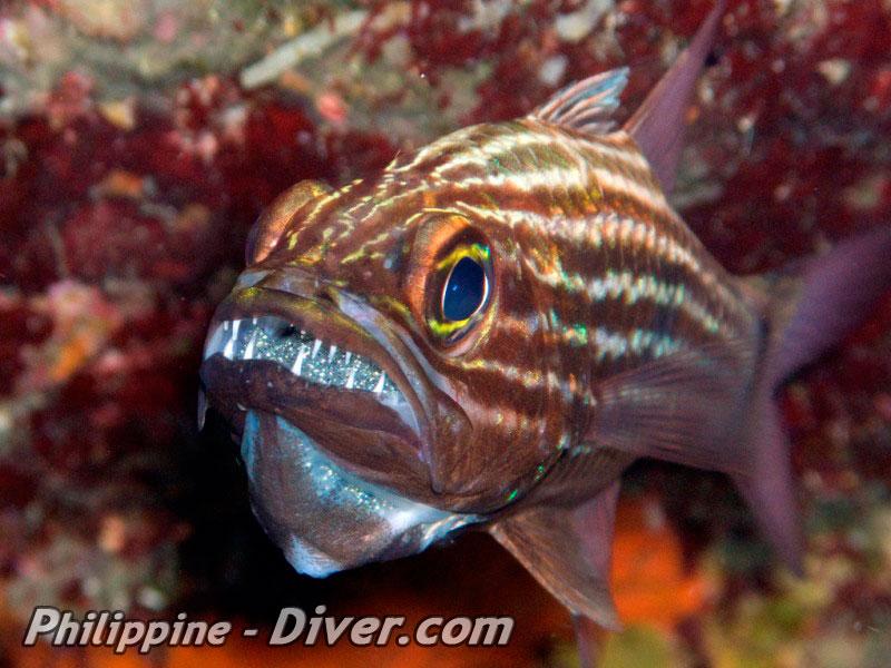 cardinalfish-puerto-galera