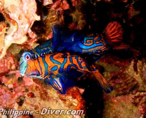 mandarinfish-dumaguete