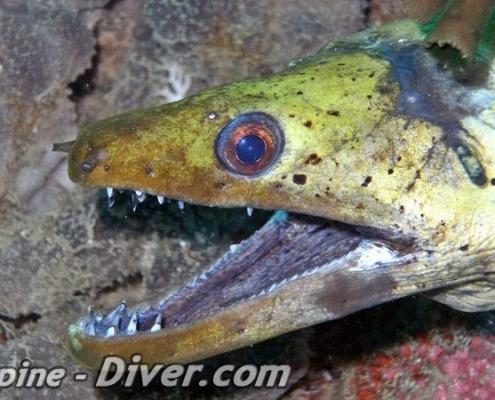 moray-eel-dumaguete