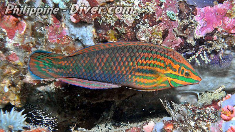 rainbow-wrasse-philippines