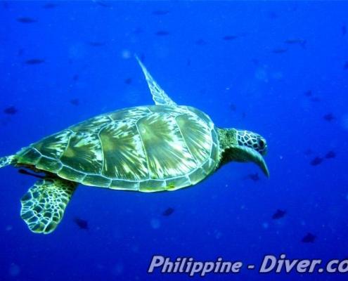 apo-island-turtle