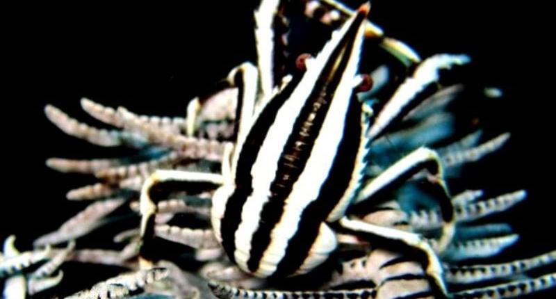 crinoid-shrimp-dumaguete