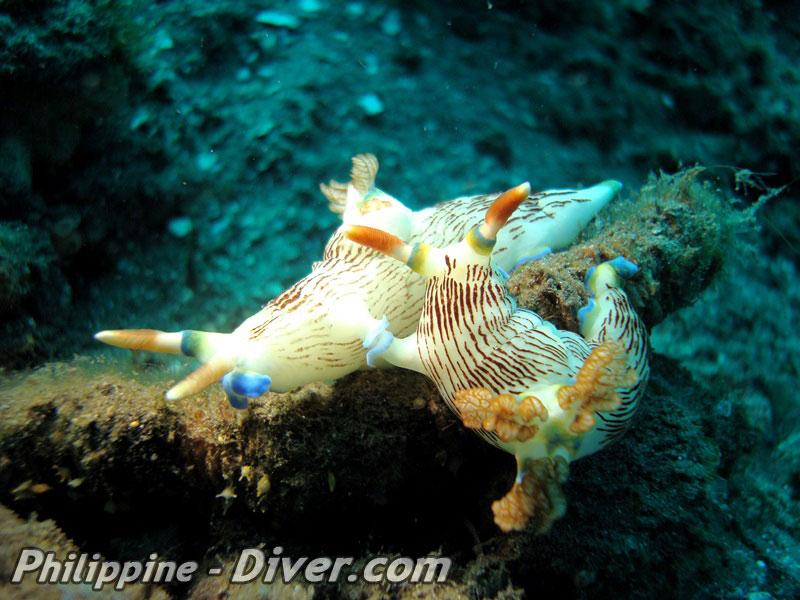 mating-nudibranch-anilao