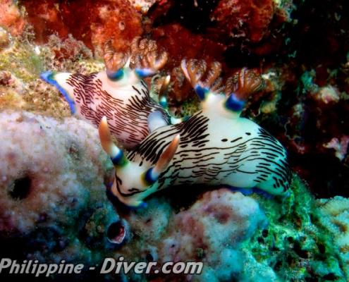 mating-nudibranchs-anilao