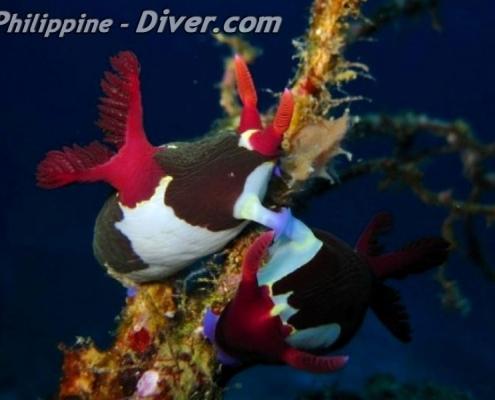 mating-nudibranchs-apo-island