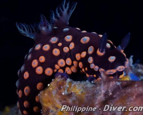 nudibranch-dumaguete