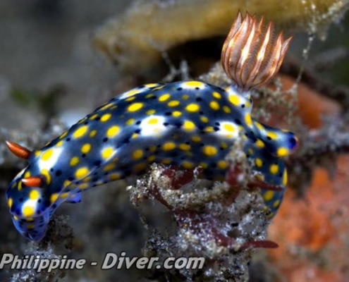 nudibranch-dumaguete-diving