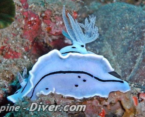 rare-nudibranch-dumaguete