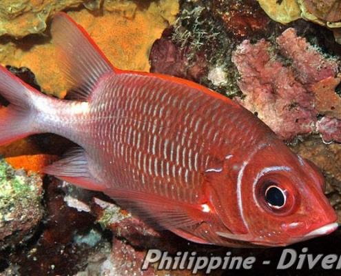 soldierfish-philippines