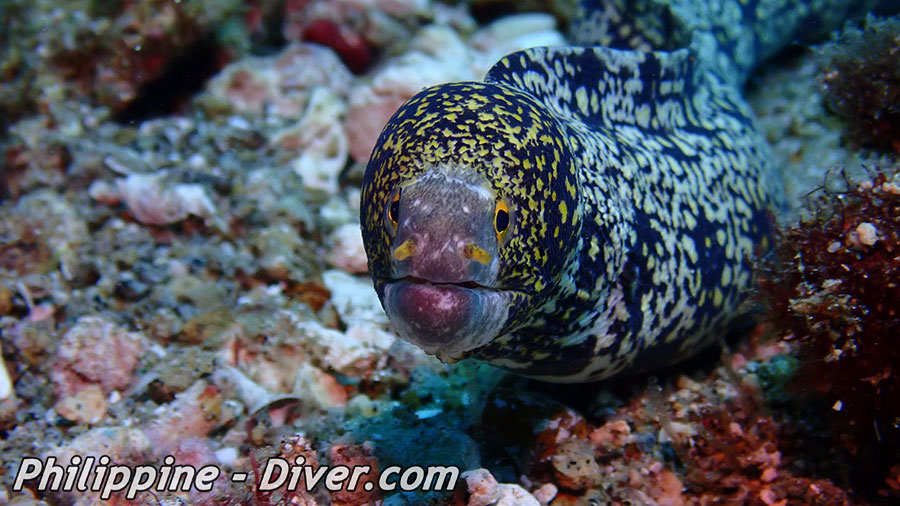 Diving in Apo Island - Dive Site - Rock Point East